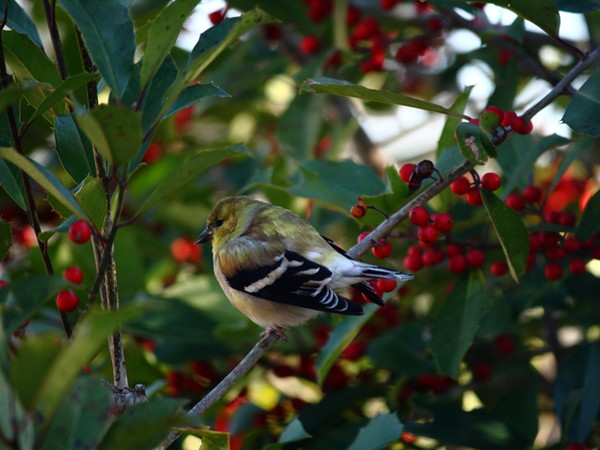 Christmas dinner guest - goldfinch in holly tree